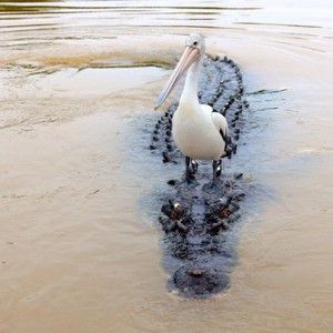 Pelican perches on a crocodile