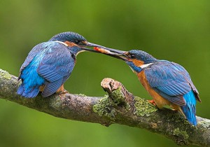Common Kingfisher (Alcedo atthis) feeding young UK