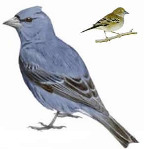 www avibirds com Blauwe vinkm