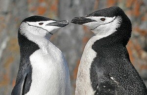 Chinstrap Penguins, photo by Pete Morris
