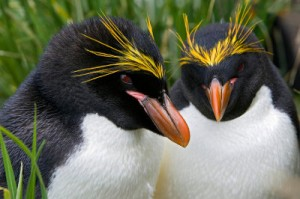 www knowledgebase lookseek com Macaroni-Penguin