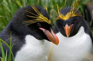 www knowledgebase lookseek com Macaroni-Penguin