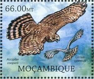 coopers-hawk-www-birdtheme-org