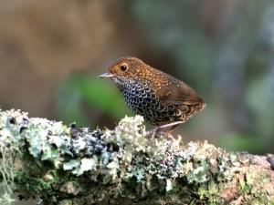 pygmy-wren-babbler3-shih-ta-jeng-www-birdingintaiwan-com