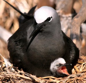 Black Noddy with chick, photograph by Pete Leary.