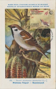 eurasian-tree-sparrow