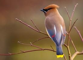 www-allaboutbirds-org-cedar-waxwing