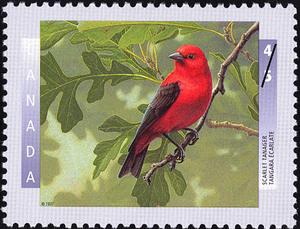 scarlet-tanager-piranga-olivacea