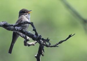 wood-pewee-www-birdfreak-com