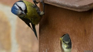 bbc-co-uk-blue-tit-c-andrew-williams