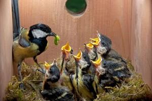 www-audubon-org-great-tit-and-chicks