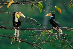 wreathed-hornbills-male-and-female-c-wong-tsu-shi-orientalbirdimages-org