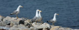 Yellow-Billed Gulls, photograph (c) Manci Cosmin-Ovidiu, http://birds.nature4stock.com/