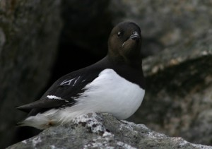 www-newhorizonsonline-co-uk-little-auk