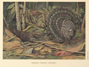 Germain's Peacock Pheasant by Louis Agassiz Fuertes