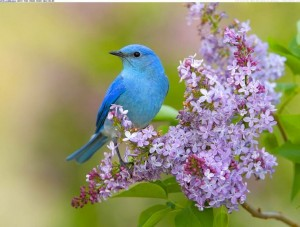 Mountain Bluebird pinterest com