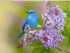 Mountain Bluebird pinterest com
