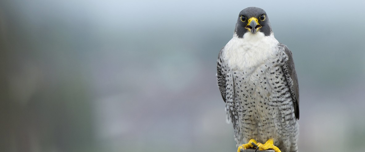the increasing population of peregrine falcons in the wild Click here for answers to frequently asked questions regarding the peregrine falcons of fargo central fargo falcons common questions individual birds have been known to live in captivity for more than twenty years to date, the longest a peregrine is known to have lived in the wild is.
