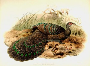 Hand-coloured lithograph after Joseph Wolf by J. Smit (from Elliot's 'A Monograph of the Phasianidae or Family of the Pheasants')