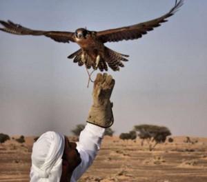 www greenprophet com falcon-UAE