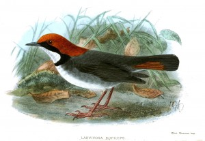 Painting by John Gerrard Keulemans, published in a 1906 edition of Ibis
