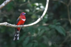 Red-headed Trogon, photographed by/© Peter Ericsson (http://www.pbase.com/peterericsson/profile)