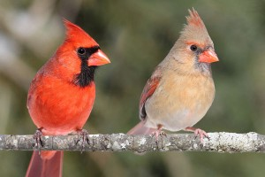 Northern Cardinals www pinterest com
