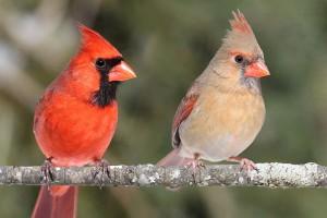 Northern Cardinals www pinterest com