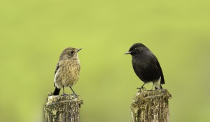 Pied Bush Chats © Brinda brindays.wordpress.com