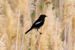 Pied Bush Chat © Ron Knight www.flickr.com