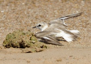 "Kentish Plover, female demonstrating the broken wing display            © Jaysukh Parekh ""Suman"""