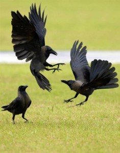 House Crows bickering www pinterest com