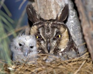 Long-eared Owl © Rick and Nora Bowers/VIREO