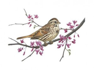 Song Sparrow by Walter Weber