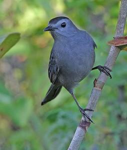 Grey Catbird www pinterest com