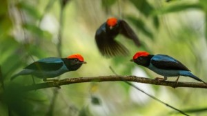 Male Blue Manakins at their lek