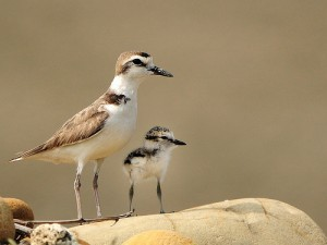 Kentish Plover adult and chick © Sushyue Liao