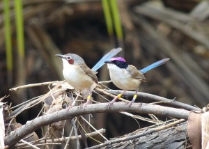 Purple-crowned Fairy-wren © Michelle L Hall