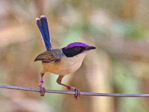 Purple-crowned Fairy-wren animalia-life club