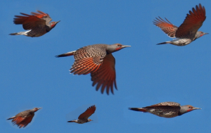 Red-shafted Northern Flickers www birdingisfun com