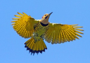 Yellow shafted Northern Flicker animalia-life club