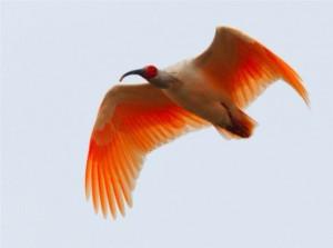 Crested Ibis www chinauniquetour com