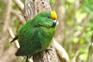 Orange fronted parakeet www massey ac nz