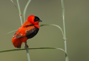 Red Bishop © Steve Garvie