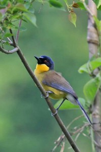Blue-crowned Laughingthrush www pinterest com