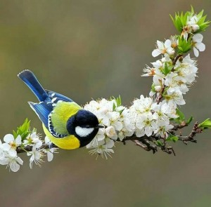 Green-backed tit www pinterest com