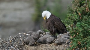 Bald Eagle and chicks animalli com