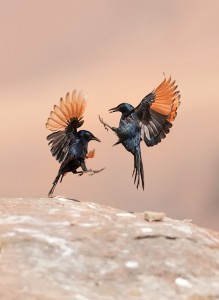 Red-winged Starling Onychognathus morio www pinterest com
