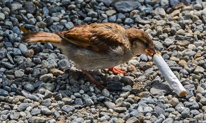 House Finch hen collecting cigarette butt © Suárez-Rodriguez