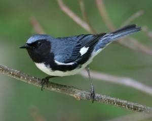 Black-throated Blue Warbler www pinterest com